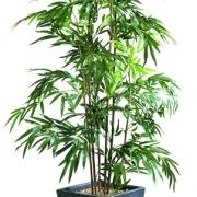plante-bambou