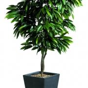 plante-manguier