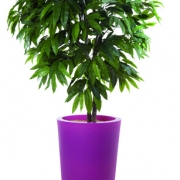 plante-manguier-bac-fuchsia